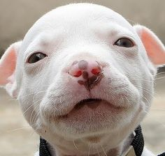 Pitbull Puppy. How can you look at this face and say this dog is a monster and threat because of its breed