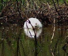 Albino muskrat