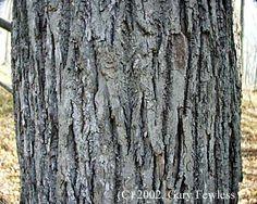 Google Image Result for http://www.uwgb.edu/biodiversity/herbarium/trees/tilame_old_bark01.jpg