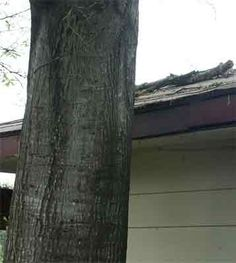 Inspecting What's Outside the Home | McKissock Online Education. This tree had modified the shape of the overhang and cracked the foundation.