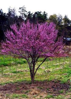 Cercis canadensis - Redbud  4 to 10 feet tall and 4 to 10 feet wide.  Lavender pink bloom in April with  full sun to part shade.  Attracts hummingbirds.  Tolerates deer, clay soil, black walnut.