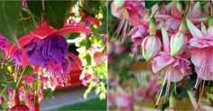 Tras leer esta información las fucsias son unas de mis flores preferidas