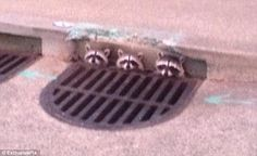 A trio of raccoons kept an eye out from the safety of a road grate in California.