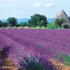 I came back from a trip to Provence a few years back, and planted lavender in my backyard. The climate of Texas is just like France! My lavender is about to start blooming any day now
