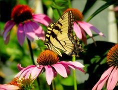 Butterfly and Blooms (Summer flowers wild+animals ). Photo by Nita