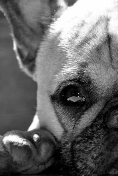 Frenchie French Bulldog