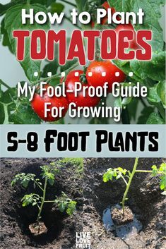 This Is How to Correctly Plant Tomatoes to Grow Foot Plants This fool-proof guide on how to plant tomatoes will ensure your tomato plants go from 3 feet tall, to over 8 feet tall.