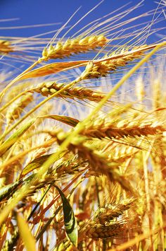 wheat fields and deep blue skies