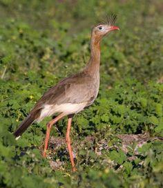 - Seriema (Cariama cristata), Quebrada de los cuervos. Publicado por DIARIO DE SUDAMÉRICA