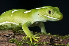 Auckland green gecko / Naultinus elegans elegans | Flickr - Photo Sharing!
