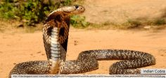"""Indian Cobra (Naja Naja) or Spectacled Cobra is a species of the genus Naja found in the Indian subcontinent and a member of the """"big four"""", the four species which inflict the most snakebites in India. This snake is revered in Indian Mythology and culture, and is often seen with Snake charmers."""