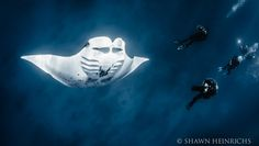 Manta rays, huge winged fish that glide like kites through the sea, are now finding a safe zone to call their own. Indonesia discovered that rays are worth nearly 2,000 times more if kept alive for tourism than killed for the fish market.