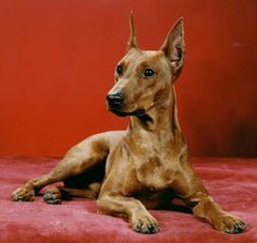 German Pinscher!!