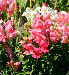 A huddle of snapdragons nip at your ankles