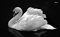 black swans | Black and white Swan wallpaper - Animal wallpapers - #4830