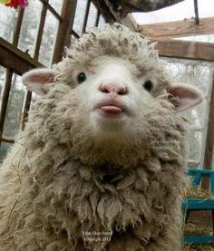 Tagged with funny, cute, aww, animals; Fluffy Cows, Fluffy Animals, Animals And Pets, Wild Animals, Cute Little Animals, Cute Funny Animals, Photo Animaliere, Cute Sheep, Baby Sheep