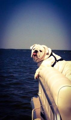 Baggy Bulldogs Bulldog on a boat!