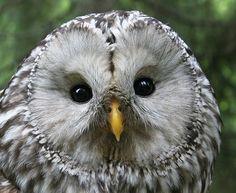 Ural Owl - slaguggla (Strix uralensis)   Västmanland, Sweden