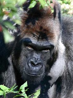 Mountain Gorillas. How 'human' is this expression? Just try that again, I dare you!!!