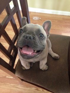 This is Blue, he is a Blue Fawn French Bulldog puppy