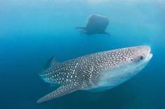 #Walhai - whale shark