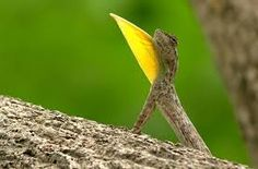 Flying Lizard   All The Animals of the World in One Place Convergent Evolution, Reptiles And Amphibians, Animals Of The World, Draco, Insects, Lizards, Fan, Embroidery, Google Search
