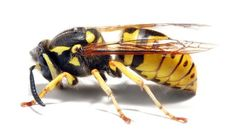 Bee Control - Wasp Removal - Yellow Jacket Nest Removal Portland OR