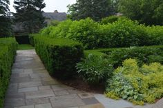 limelight-hydrangeas (NOT IN BLOOM) - important to keep in mind when designing a landscape.jpg