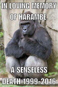 RIP beautiful Harambe
