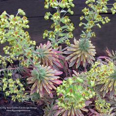 Euphorbia - Ascot Rainbow.  I love this variety.  It says the the red tones on the leaves vanish in warm weather but return again when the cool fall weather comes.