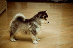 Funny pictures about Pomeranian + Husky = Pomsky. Oh, and cool pics about Pomeranian + Husky = Pomsky. Also, Pomeranian + Husky = Pomsky photos. Cute Puppies, Cute Dogs, Dogs And Puppies, Doggies, Funny Dogs, Baby Animals, Funny Animals, Cute Animals, Pomeranian Husky