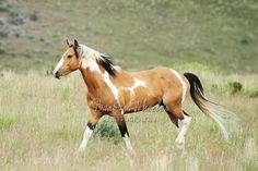 """""""Navajo"""", stallion from the South Steens HMA in Oregon (South Steens Wild Horses M116919)"""