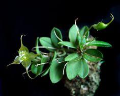 Brachionidium kuhniarum