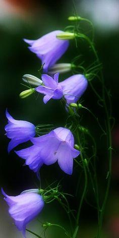 ~ Bluebells ~ For semi shade, forest garden Exotic Flowers, Amazing Flowers, My Flower, Purple Flowers, Flower Power, Wild Flowers, Beautiful Flowers, Blue Bell Flowers, Cactus Flower