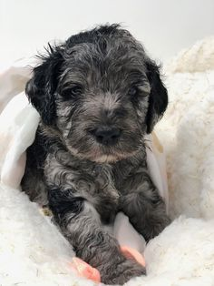 Labradoodles of Montana is dedicated to the breeding and the sale of miniature/medium australian labradoodles. See our website to see what puppies are for sale. Cute Puppies, Dogs And Puppies, Australian Labradoodle Puppies, Cutest Puppy Ever, Labradoodles, New Puppy, Montana, Smile, Smiling Faces
