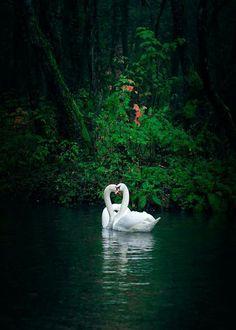 Swans by Mevludin Sejmenovic Swan Love, Beautiful Swan, Beautiful Birds, Nature Animals, Animals And Pets, Cute Animals, Swan Pictures, Nature Pictures, Swans
