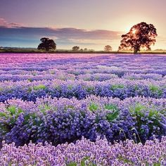 Provence France has the right idea of a peacefully exquisite sunset.  #sunset #france #lavender #flowers #peace
