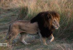 Photograph Evening Lion by Libor Ploček on Lion Images, Lion Pictures, Animal Pictures, Lion Walking, Lion Sketch, Lion Photography, Lions Photos, Big Cats Art, Lion And Lioness