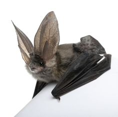 Grey Long Eared Bat - Plecotus Astriacus - Bat Facts and Information Reptiles, Mammals, Murcielago Animal, Beautiful Creatures, Animals Beautiful, Beautiful Fish, Potnia Theron, Bat Facts, Animals And Pets