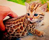 bengal cats are too cute
