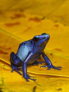 Blue Dendrobates Azureus