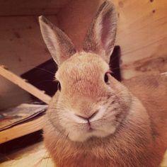Alfons der Kaninchenrammler
