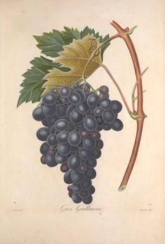 Gros Guillaume - Pomologie française : recueil des plus beaux fruits cultivés en France, vol 2 | illustrated by P. J. F. Turpin | 1846