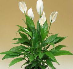 Garden Hoe, Diy Herb Garden, Easy Garden, Peace Lily Plant, Indoor Plants Low Light, Most Beautiful Flowers, Deco Table, Garden Statues, Plant Decor