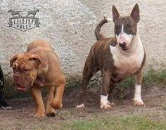 Thorgara Bull's Rita Lee e Thorgara Bull's BC Xaxado (Filhote Disponível)   Canil Thorgara Bull's especializado em Buldogue Campeiro e Bull Terrier Itaipuaçu - RJ - Brasil