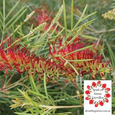 The RSL Spirit of Anzac Grevillea has delightful red flowers that attract birds and wildlife throughout Autumn to Summer. It is a hardy plant, which prefers a well drained soil, we recommended planting with Searles Native Plant Specialty Mix for best results #anzac #100years #aboutthegarden #rsl #spiritofanzac #grevillea #garden #australia