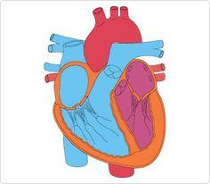 30 best human body clip art images on pinterest human body the rh pinterest com human clipart heart human clipart 3d