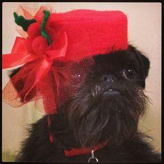 Just call me Jackie O! My glamorous Christmas pillbox....  ( Bindi the Brussels Griffon) Lynne & Bindi @Lynne Correia Instagram photos | Webstagram