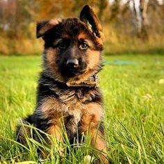 I miss my #German #Shepherd