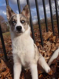 Blue Heeler Husky Mix Dogs Dogs Husky Mix Cute Dogs